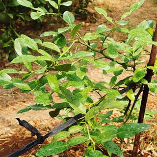 コブミカン(マックルー)の栽培