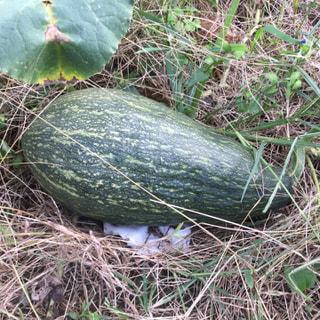 もうすぐHalloweenです。隣りの河野さんの畑には長くて大きなかぼちゃ(万次郎)が何個も出来ています。