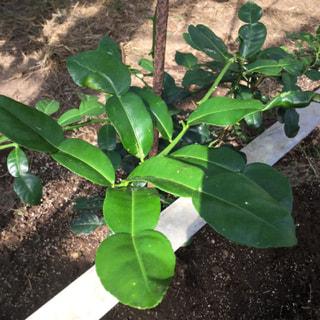 黒川みかん農園さんに新しいコブミカンの苗木をお届けしました。