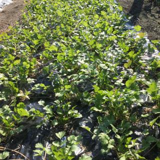先月地植えしたパクチーは、霜が降りる美山で寒さに負けず大きくなってきました。