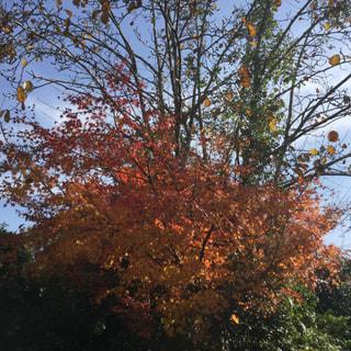 美山の古民家蕎麦庵のお庭の紅葉🍁
