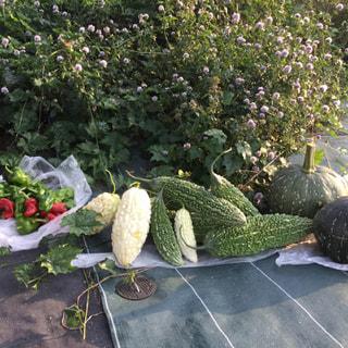 もうすぐハロウィン🎃美山の畑はかぼちゃやゴーヤ、パプリカが元気に育って収穫できました。
