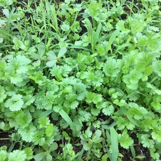 美山の畑は6月に収穫した時に土に落ちたパクチーシードが自然に育ってきています。